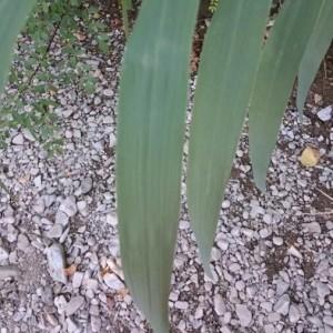Photographie n°2224101 du taxon Arundo donax L. [1753]
