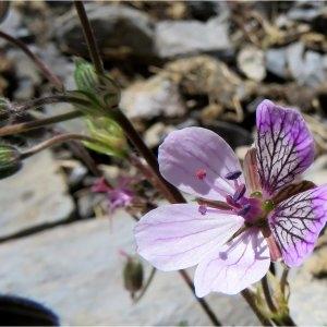 Photographie n°2225284 du taxon Erodium glandulosum (Cav.) Willd. [1800]