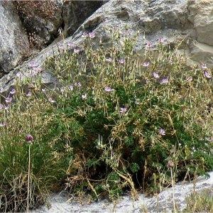 Photographie n°2225291 du taxon Erodium glandulosum (Cav.) Willd. [1800]