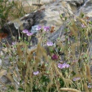 Photographie n°2225292 du taxon Erodium glandulosum (Cav.) Willd. [1800]