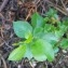 Lionel CLEMENT - Prunus mahaleb L.