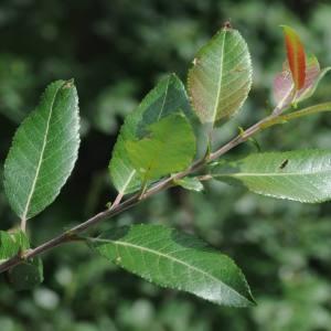 Photographie n°2225722 du taxon Salix foetida Schleich. ex DC. [1805]