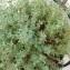 Dan CARBONE - Thymus vulgaris L.