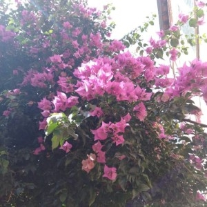 Bougainvillea spectabilis Willd. (Bougainvillée admirable)