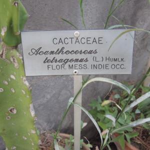 Photographie n°2225915 du taxon Acanthocereus tetragonus (L.) Hummelinck