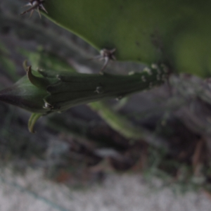- Acanthocereus tetragonus (L.) Hummelinck