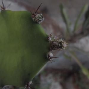Acanthocereus tetragonus (L.) Hummelinck (Dildo espinoso)