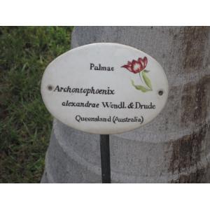 Archontophoenix alexandrae (F. Müller) H. Wendl. & Drude (Alexandra palm)