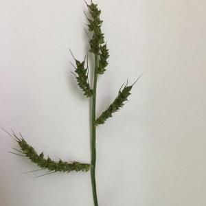 Photographie n°2226193 du taxon Echinochloa crus-galli (L.) P.Beauv. [1812]