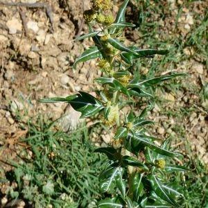 Photographie n°2226389 du taxon Xanthium spinosum L. [1753]
