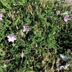 Photographie n°2226393 du taxon Erodium glandulosum (Cav.) Willd. [1800]