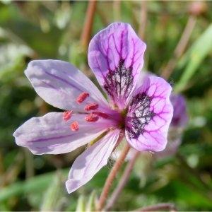 Photographie n°2226399 du taxon Erodium glandulosum (Cav.) Willd. [1800]