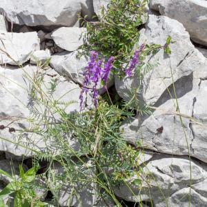 Photographie n°2226797 du taxon Vicia cracca L. [1753]