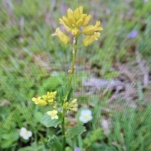 Photographie n°2226906 du taxon Barbarea vulgaris R.Br. [1812]