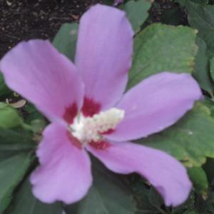 - Hibiscus syriacus L. [1753]