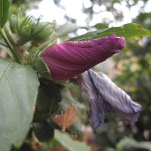 Hibiscus syriacus L. (Hibiscus)