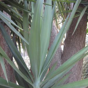 Yucca elephantipes Regel ex Trel. [1902]