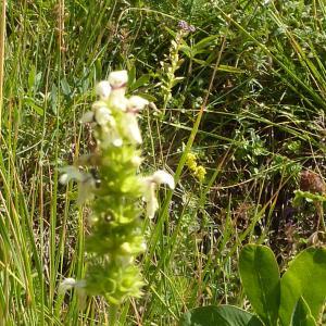 Photographie n°2227305 du taxon Lamiaceae