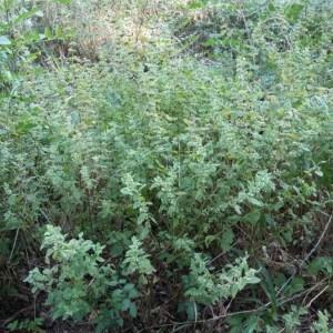 Photographie n°2227488 du taxon Melittis melissophyllum L. [1753]