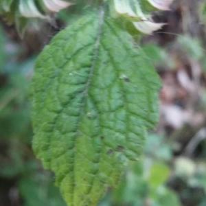 Photographie n°2227489 du taxon Melittis melissophyllum L. [1753]