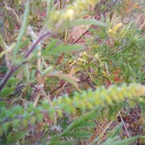 Photographie n°2227569 du taxon Ambrosia tenuifolia Spreng. [1826]