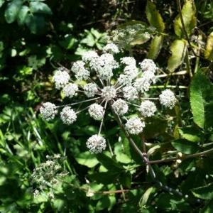 Photographie n°2227781 du taxon Angelica sylvestris L. [1753]