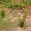 Juncus tenuis Willd. [nn36733] par GLev le 15/08/2018