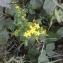 Hypericum humifusum L. [nn35296] par Michel Cosme le 15/08/2018 - Saint-Christophe-du-Luat