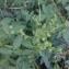 Agrimonia procera Wallr. [nn1153] par Michel Cosme le 15/08/2018 - Saint-Christophe-du-Luat
