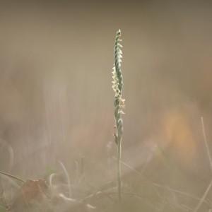 Photographie n°2228500 du taxon Spiranthes spiralis (L.) Chevall. [1827]