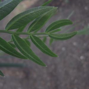 Photographie n°2228601 du taxon Schinus molle L.