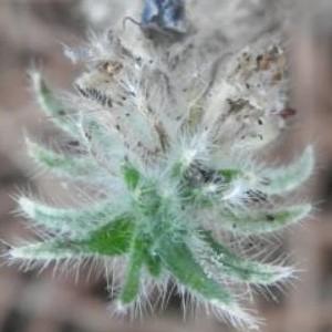 - Echium sabulicola Pomel [1874]