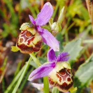 Photographie n°2228712 du taxon Ophrys fuciflora (F.W.Schmidt) Moench [1802]