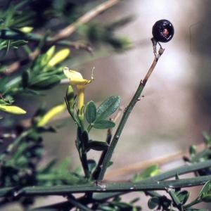 Photographie n°2228737 du taxon Jasminum fruticans L. [1753]