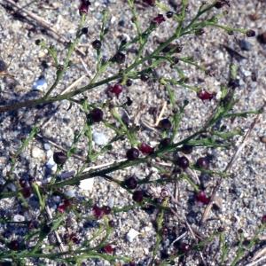Photographie n°2228741 du taxon Jasminum fruticans L. [1753]