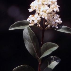 Photographie n°2228748 du taxon Ligustrum vulgare L. [1753]