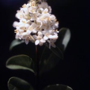 Photographie n°2228749 du taxon Ligustrum vulgare L. [1753]