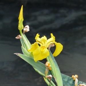 Photographie n°2228754 du taxon Iris pseudacorus L. [1753]
