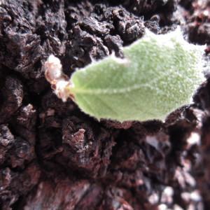 - Quercus ilex L.