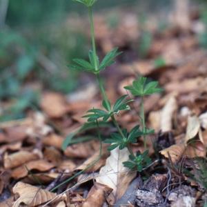 Photographie n°2229151 du taxon Galium odoratum (L.) Scop. [1771]
