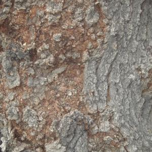 Photographie n°2229340 du taxon Pistacia atlantica Desf. [1799]