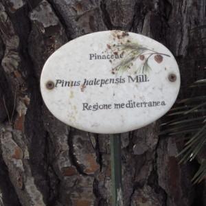 Photographie n°2229354 du taxon Pinus halepensis Mill. [1768]