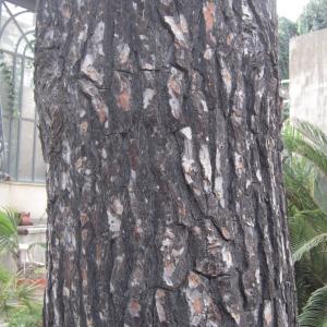 Photographie n°2229355 du taxon Pinus halepensis Mill. [1768]