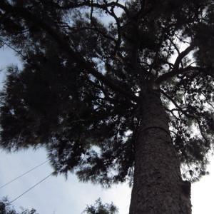 Pinus halepensis subsp. brutia (Ten.) A.E.Murray (Calabrian Pine)