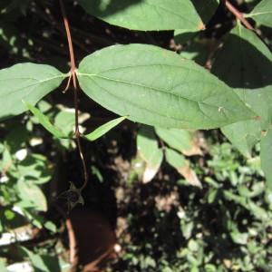 Philadelphus coronarius L. (Seringa commun)