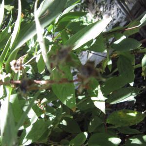 Photographie n°2229496 du taxon Philadelphus coronarius L. [1753]