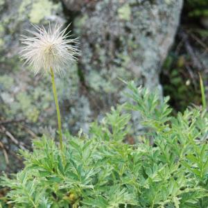 Photographie n°2229566 du taxon Anemone alpina subsp. apiifolia (Scop.) O.Bolòs & Vigo [1974]