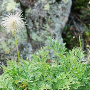 Photographie n°2229567 du taxon Anemone alpina subsp. apiifolia (Scop.) O.Bolòs & Vigo [1974]