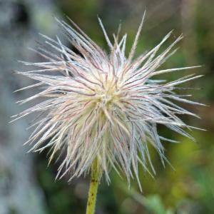 Photographie n°2229568 du taxon Anemone alpina subsp. apiifolia (Scop.) O.Bolòs & Vigo [1974]