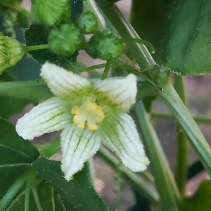Photographie n°2229757 du taxon Bryonia dioica Jacq. [1774]